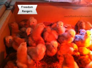Freedom Rangers FFR