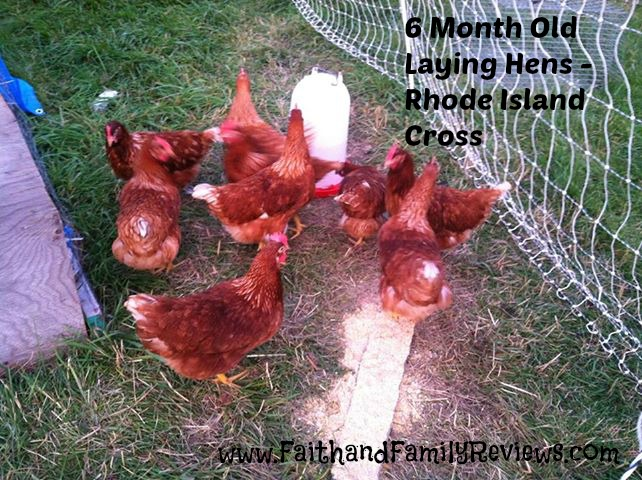 FFR 6 Month Old Laying Hens_edit