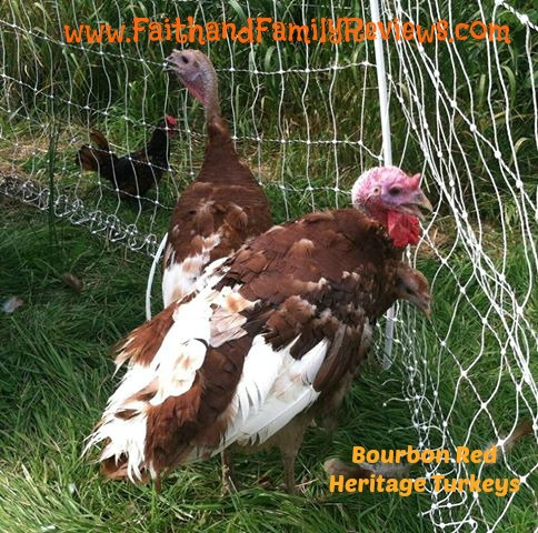 FFR Bourbon Red Turkeys_edit