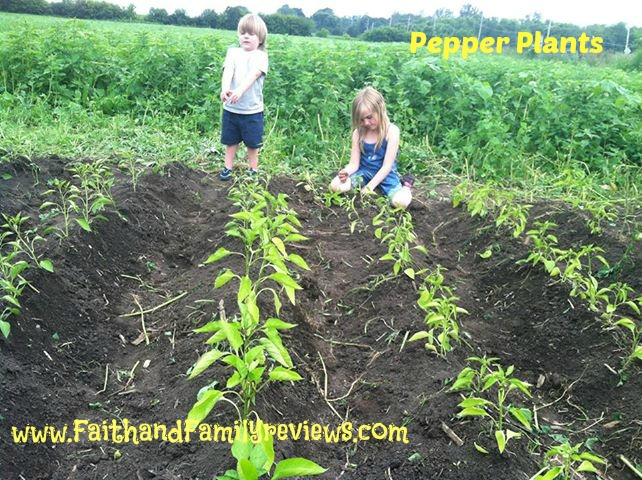 FFR Pepper Plants_edit