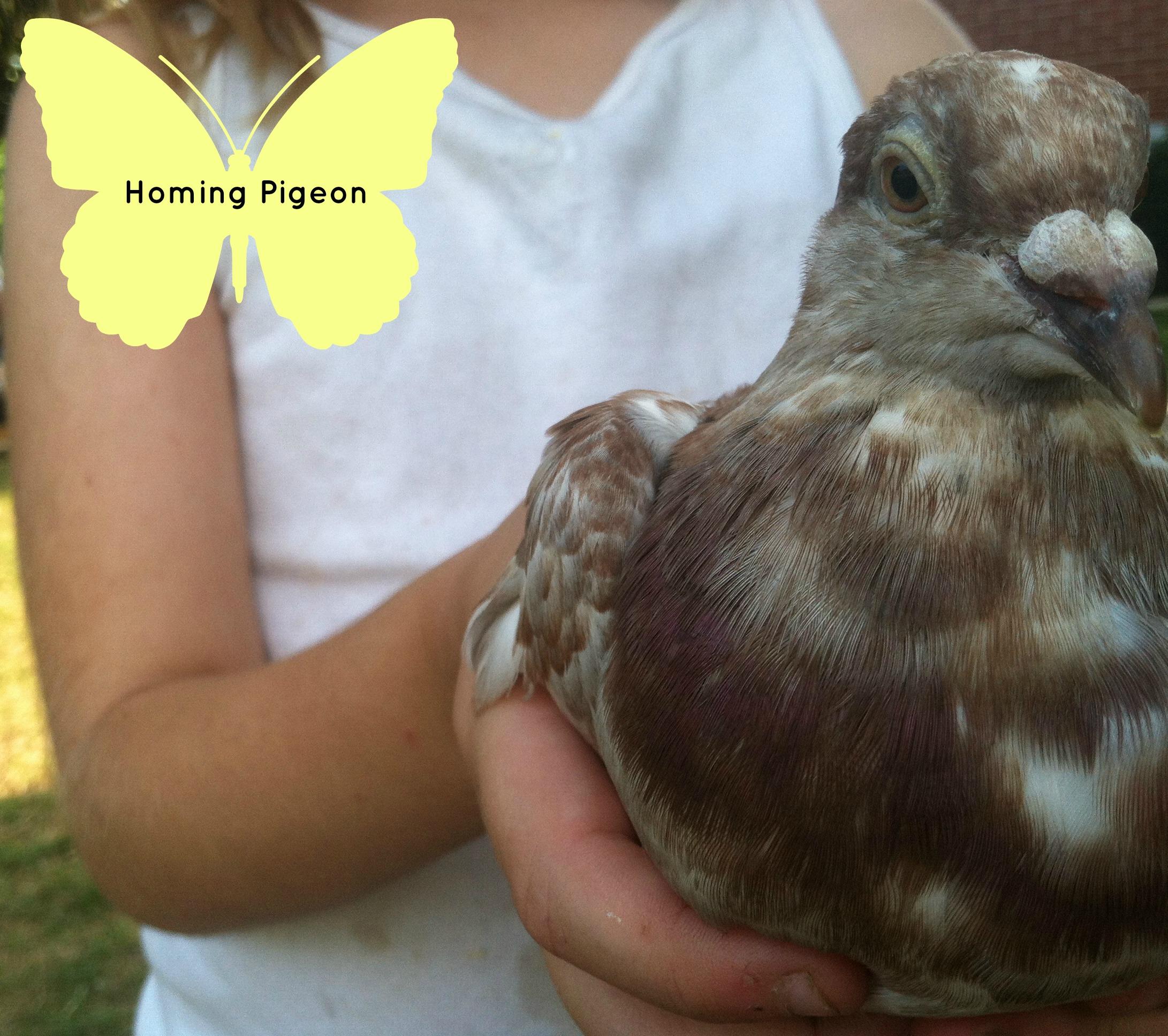 Homing Pigeon_