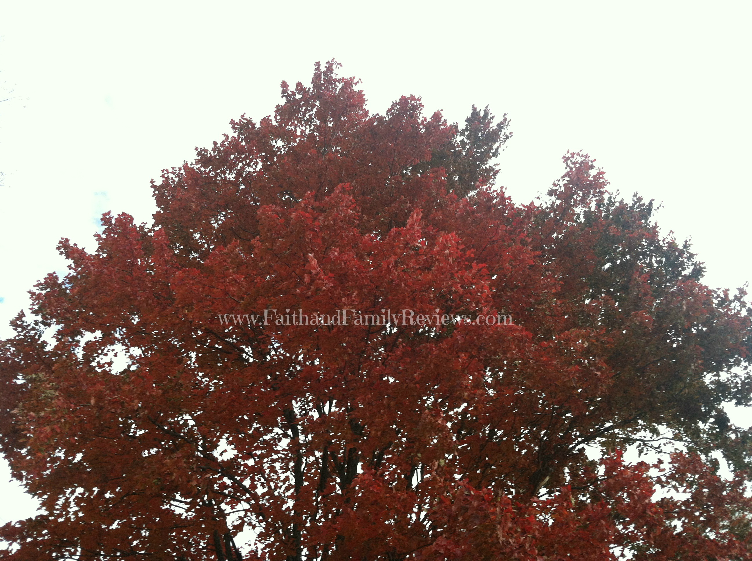 FFR Red Maple_