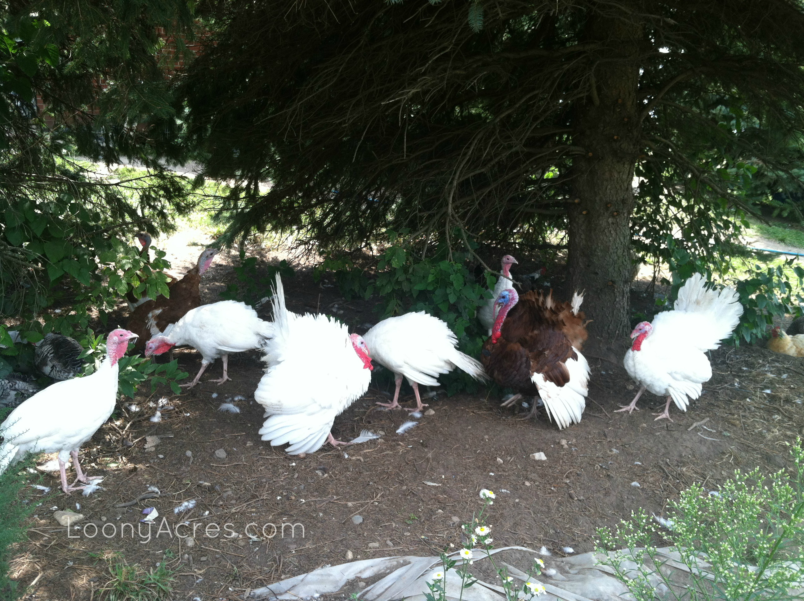 LoonyAcres Turkeys 082013_
