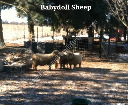 FFR Babydoll sheep
