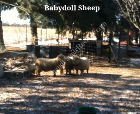 FFR Babydoll sheep