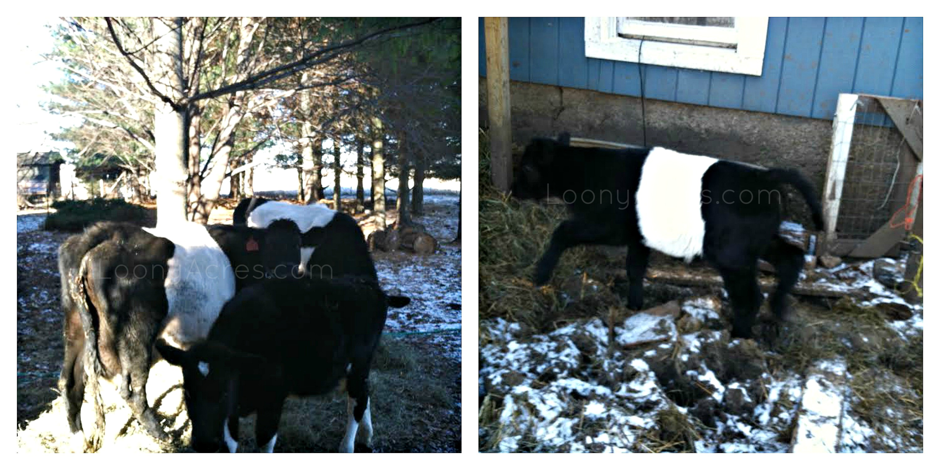 Loony Acres Neighbor's Dutch Belted cows collage