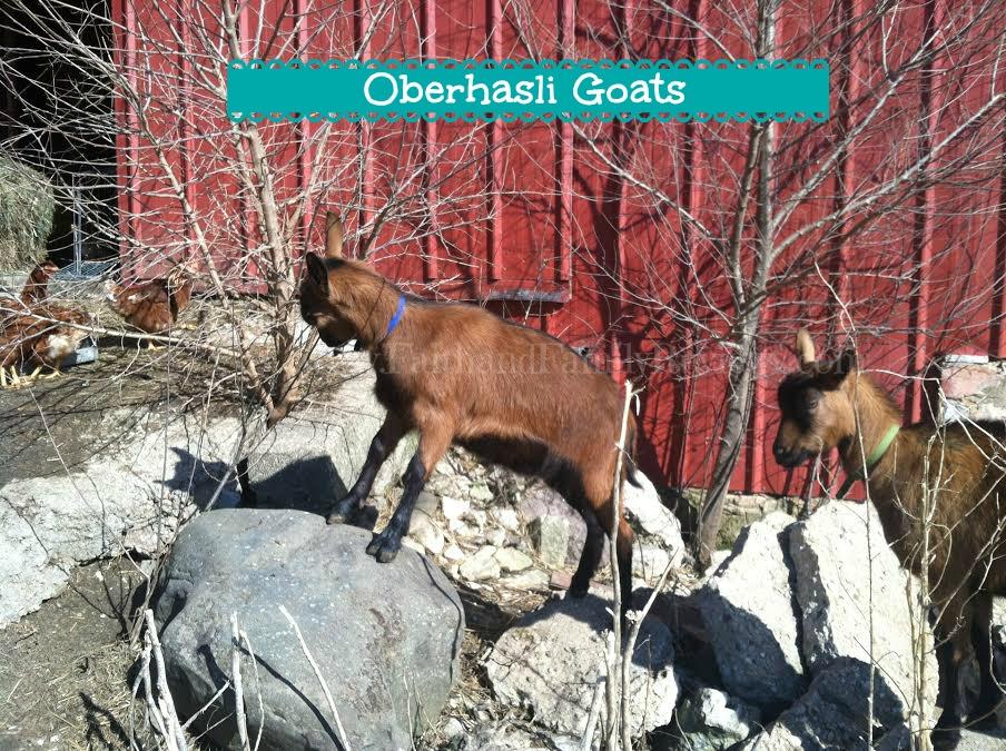 FFR Goats 032914