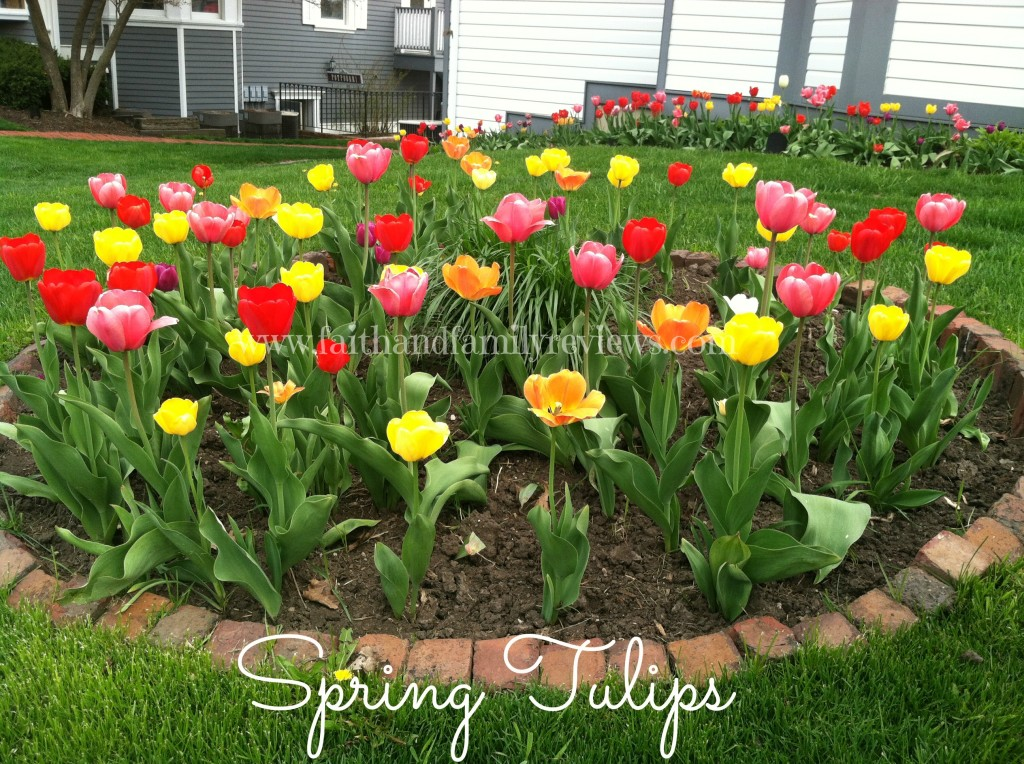 FFR Spring Tulips Long Grove 2013