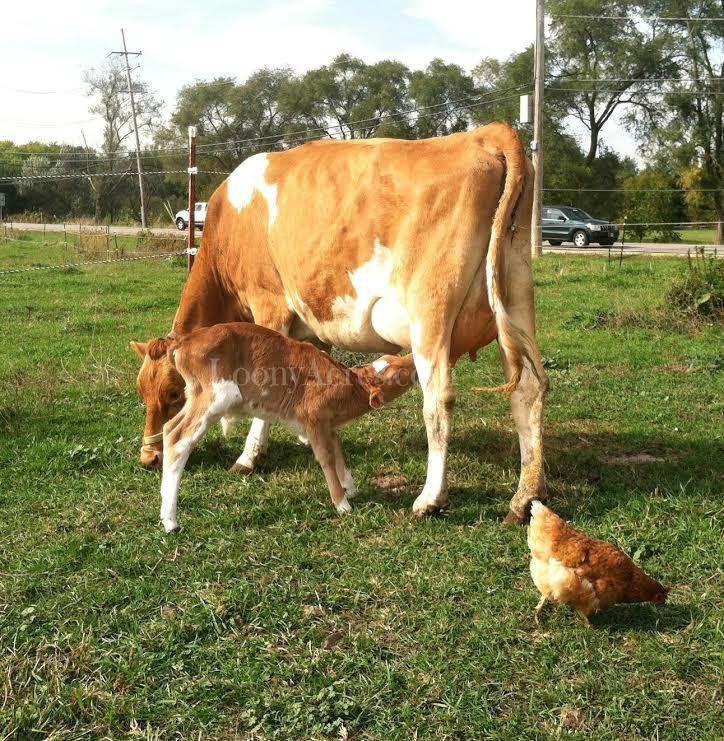 Loony Acres Comet-Calf Nursing 100114