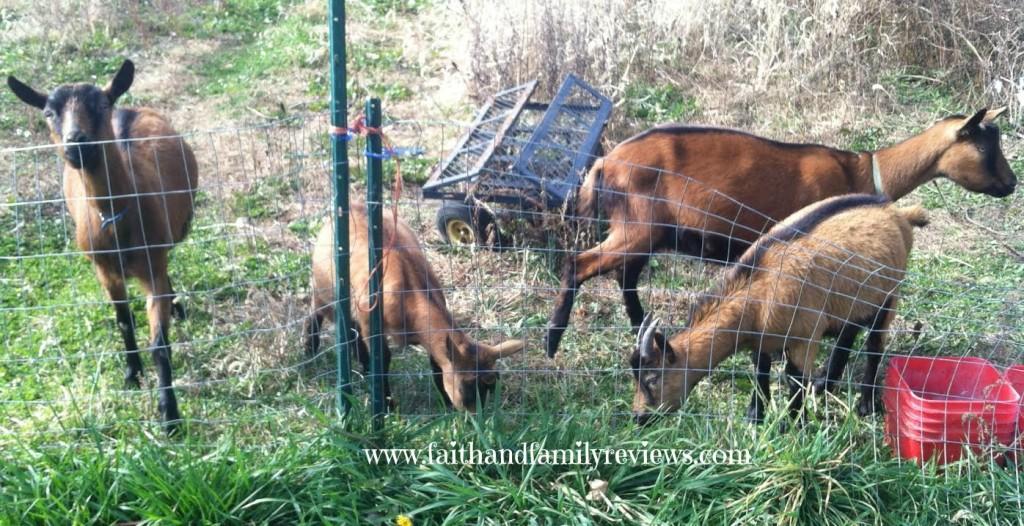 FFR Goats 110114_2